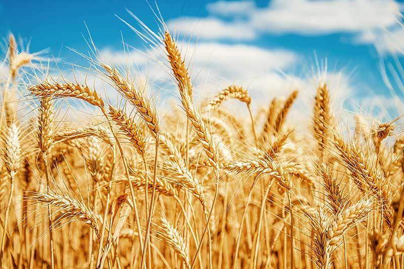 Dị ứng lúa mì: Nguyên nhân, triệu chứng, cách phòng tránh